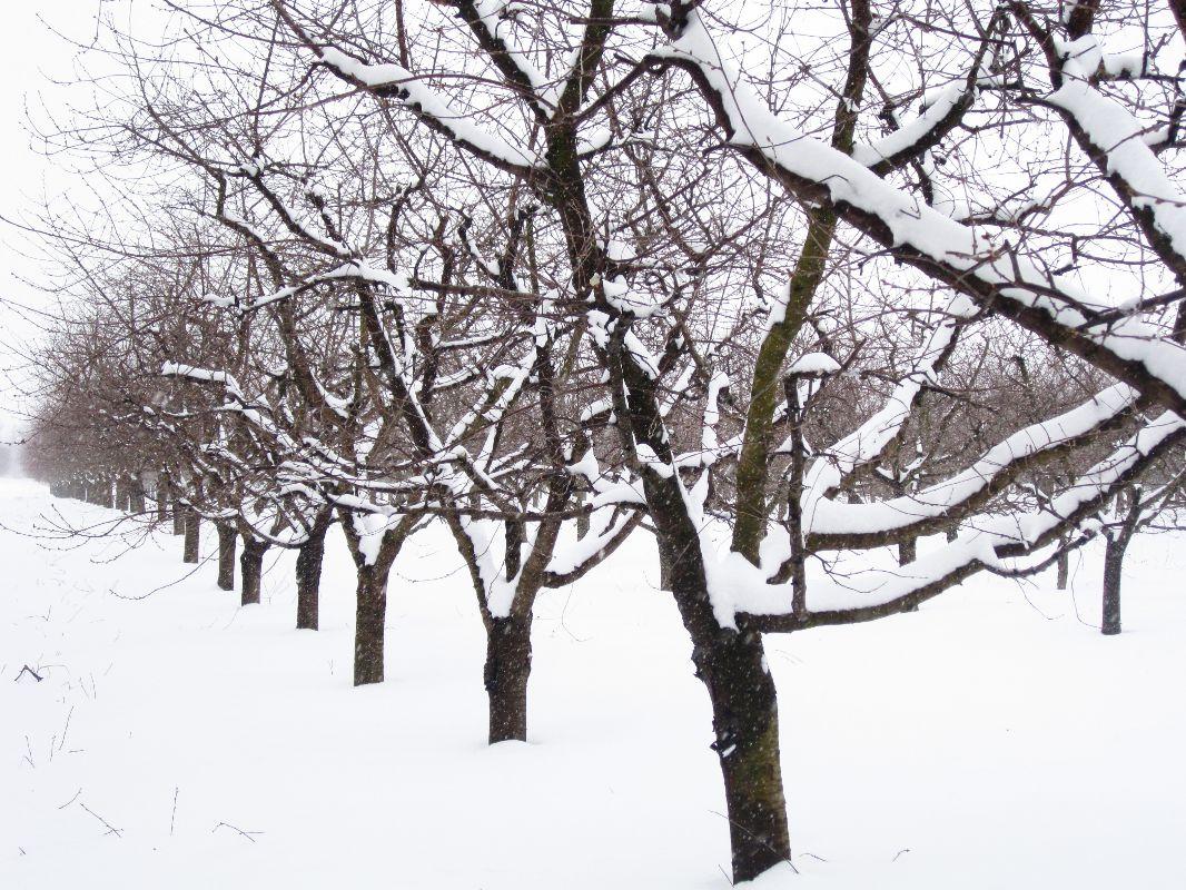 A téli meggyes